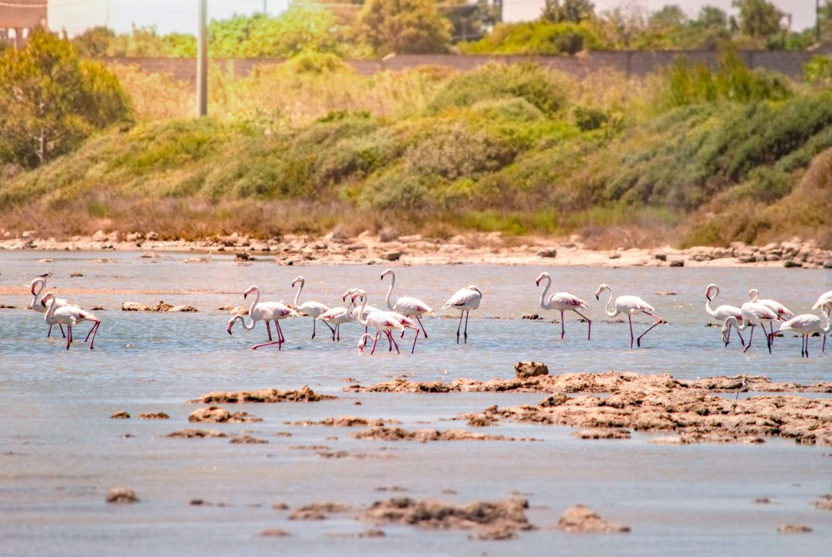 Pink Flamingos at Saline dei Monaci - Torre Colimena